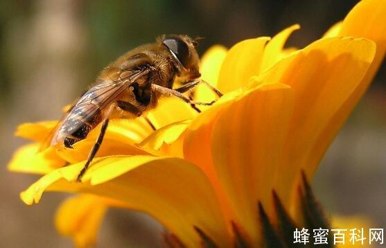 蜂蜜能减肥吗_无刺蜂蜂蜜得药用价值及其质量标准 - 土蜂蜜网